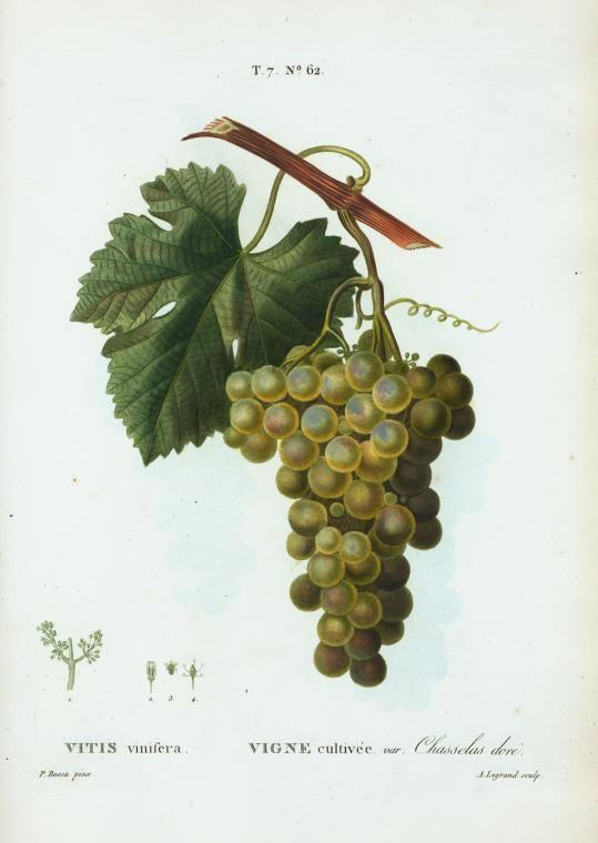 vitis vinifera (vigne cultivee var chasselas dore)