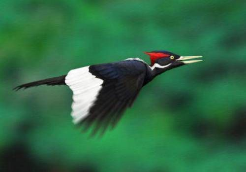 Ivory-billed Woodpecker | Bird Flight | Pinterest ...