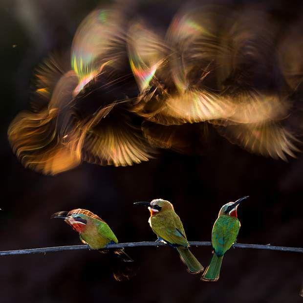 """""""Chaos coloré"""" / Mention honorableAFRIQUE DU SUD -18 jours auront été nécessaires à Bence Mate pour saisir l'arc-en-ciel né de la lumière passant à travers les ailes en mouvement de ces oiseaux guêpiers."""