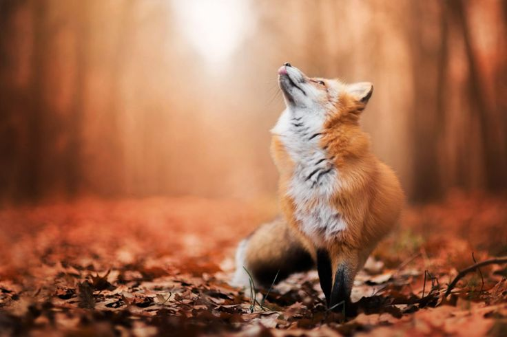 Enchanting Portraits of a Red Fox