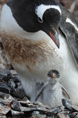 Gentoo Penguins - parent and a cute little hatchling. One of my favorite species.