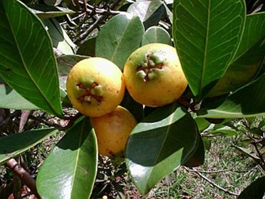 ARAÇÁ AMARELO (Psidium cattleianum)                                                                                                                                                                                 Mais