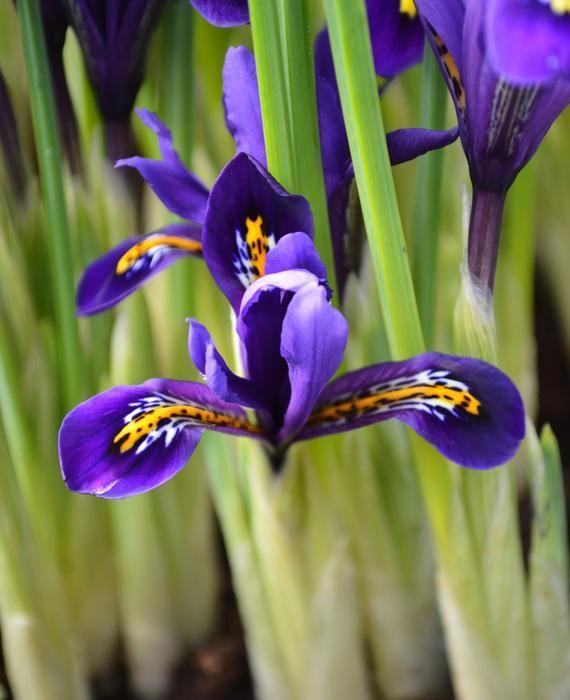 Dwarf Iris Reticulata (100)