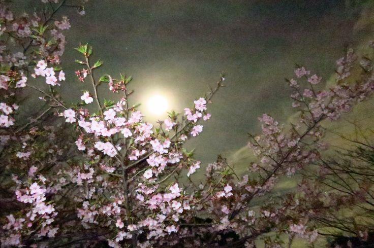 おぼろ月夜桜