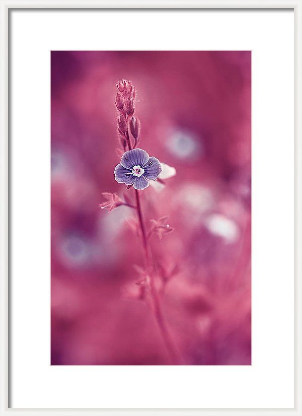 Beautiful Framed Print featuring the photograph Small Romantic Violet Flower by Oksana Ariskina. Small blue wildflower forget-me-not, closeup view on violet pink toned background. Available as mugs, posters, greeting cards, phone cases, throw pillows, framed fine art prints, metal, acrylic or canvas prints, shower curtains, duvet covers with my fine art photography online: www.oksana-ariskina.pixels.com #OksanaAriskina
