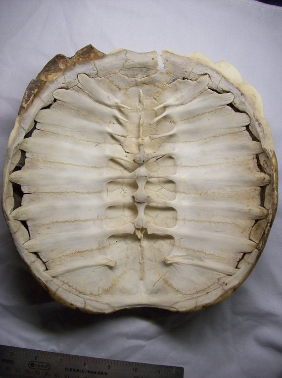 Large Snapping Turtle Shell