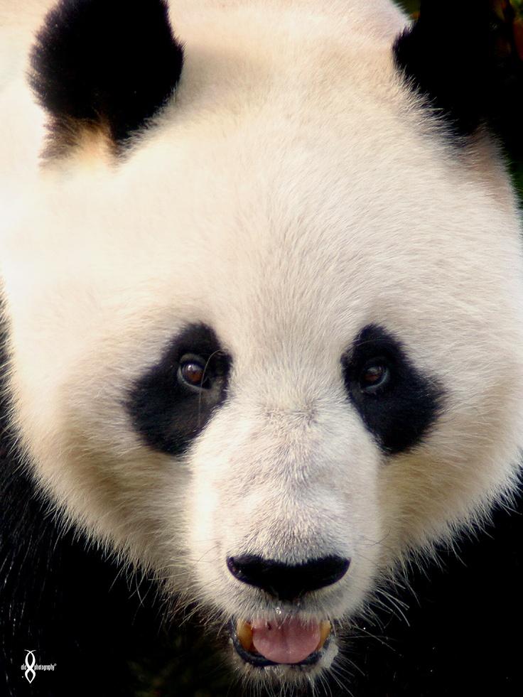 © Amandalee - ALAPHOTOGRAPHY - Wang Wang : Adelaide Zoo