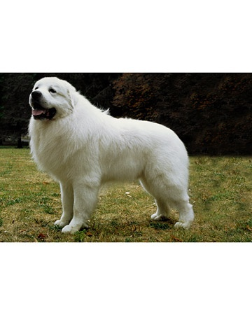 big bear of a puppy - great pyrenees: Animals, Dogs, Great Pyrenees, Family, Work Independently, To Work, Star, Families, Dog Breeds