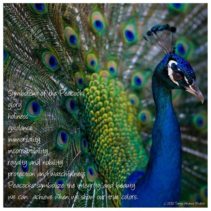 58 best images about Peacock Spirit on Pinterest   High ... - photo#36