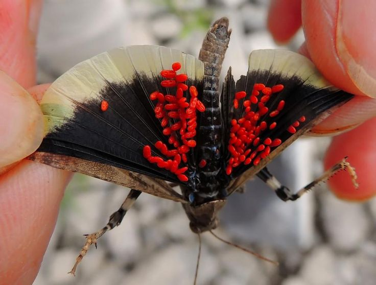 papuna insect - Google Search