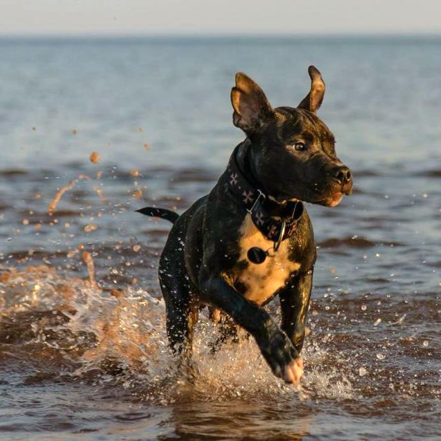Liv's Pit Bull Jaeger playing at the beach