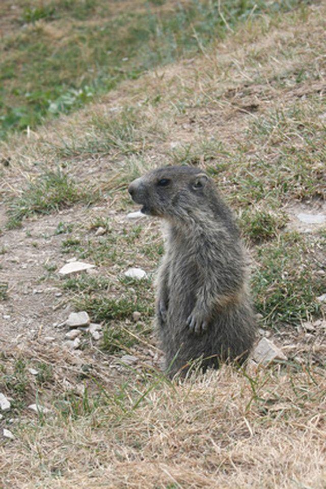 Homemade Groundhog Repellent Cat Litter Animal Habitats Groundhog