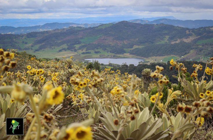 Frailejones in bloom make for gorgeous scenery