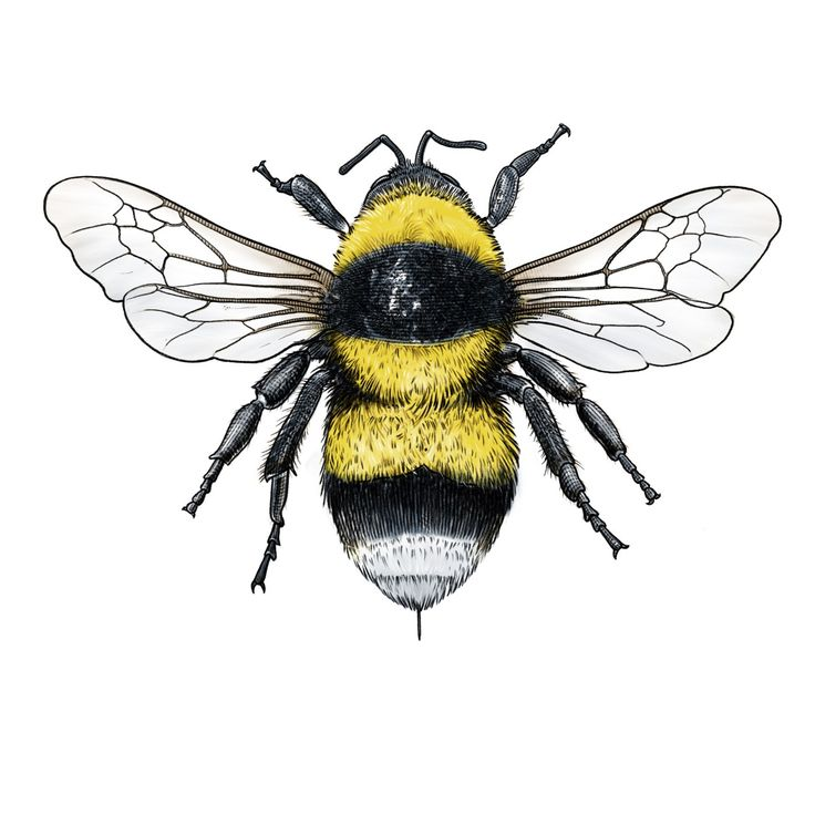 Large garden bumblebee for Rörstrand and Prince Carl Philip series of decorative porcelain. Fälthumla insekt bi humla