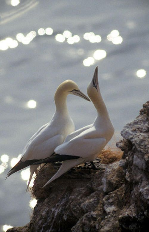 Tiny cameras attached to the back of gannets. Researchers attached the tiny cameras to the gannets, to learn more about their habits and how they survive flying up to 300 miles out at sea. They found that the seabirds circle at 30 meters high before diving into the water at speeds of up 60mph.