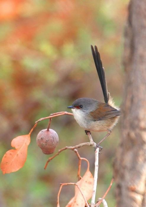 The red-winged fairywren (Malurus elegans) is a species of passerine bird in the family Maluridae. It is sedentary and endemic to the southwestern corner of Western Australia.