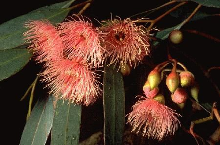 Eucalyptus sideroxylon...Red Ironbark