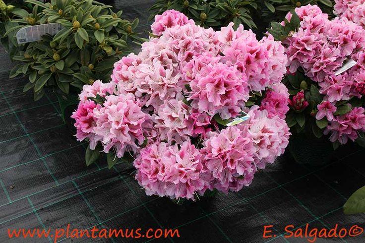 Rododendro en Plantamus