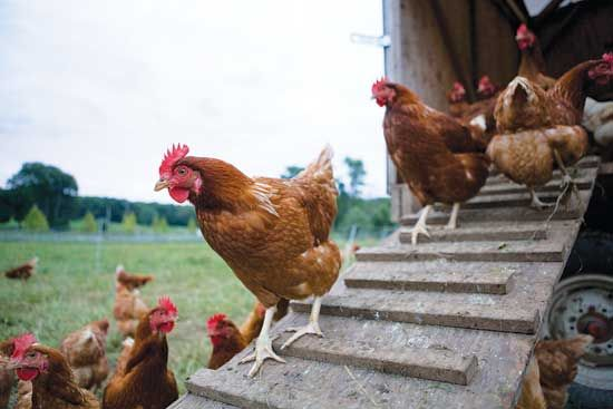 Raising Broiler Chickens - Homesteading and Livestock - MOTHER EARTH NEWS