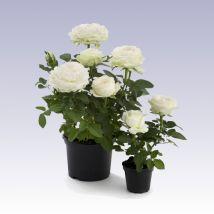 Mini rózsa fehér, Rosa 10 cm magas 11cs