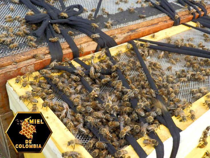 """""""Si no existieran polinizadores naturales como las abejas, no habría plantas, sin ellas no existirían los animales herbívoros y sin éstos, los carnívoros tampoco, por lo tanto al hombre le quedarían muy pocas posibilidades de sobrevivir sin estos insectos"""","""