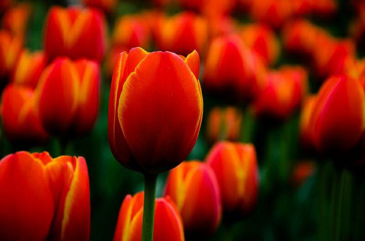 Spring #tulip #flower #red #orange #macro