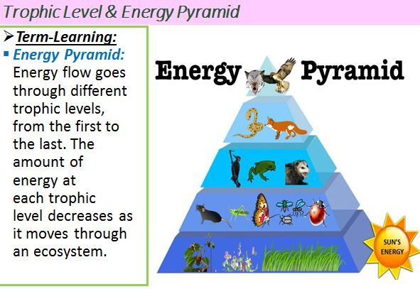 Explain How Energy Flows Through The Organisms In Ecosystems