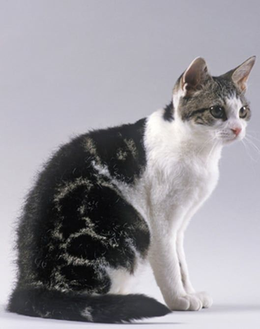 Cat Breeds List - Cats In Care