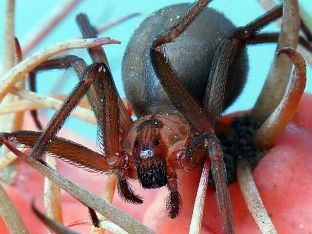 Brown recluse... Deadly spider