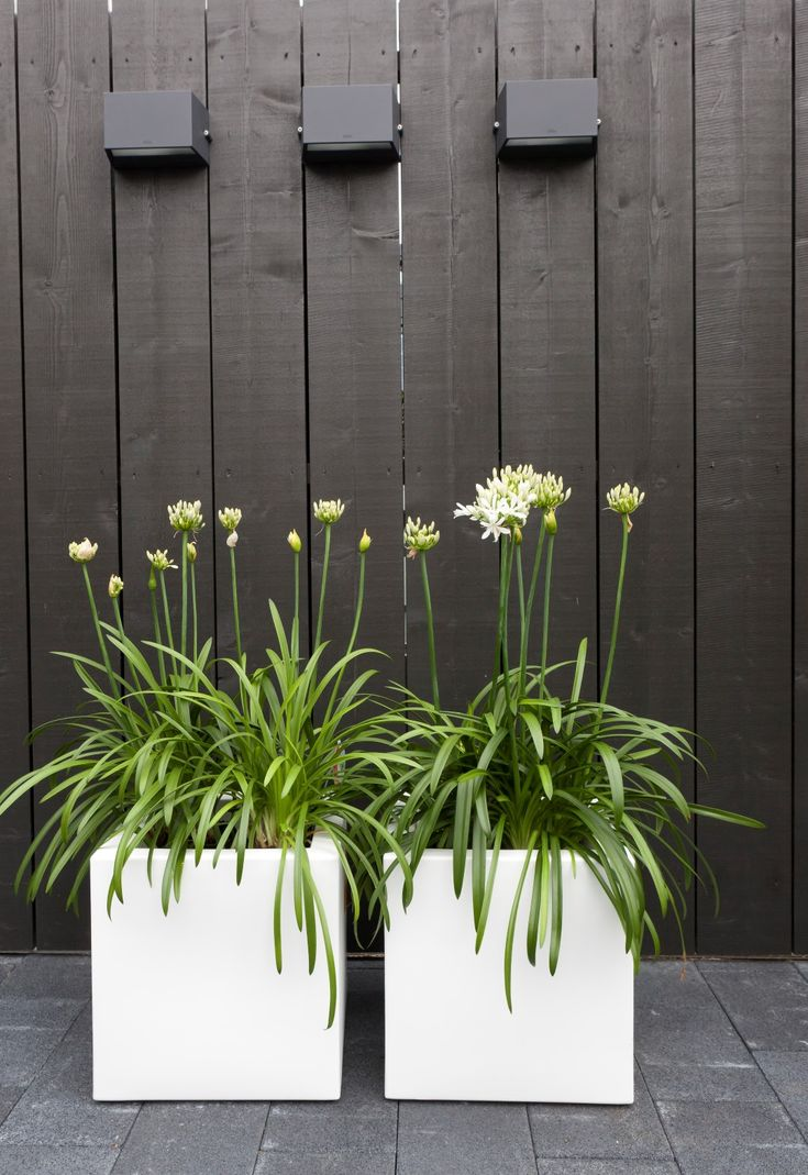 Agapanthus in geometric planters