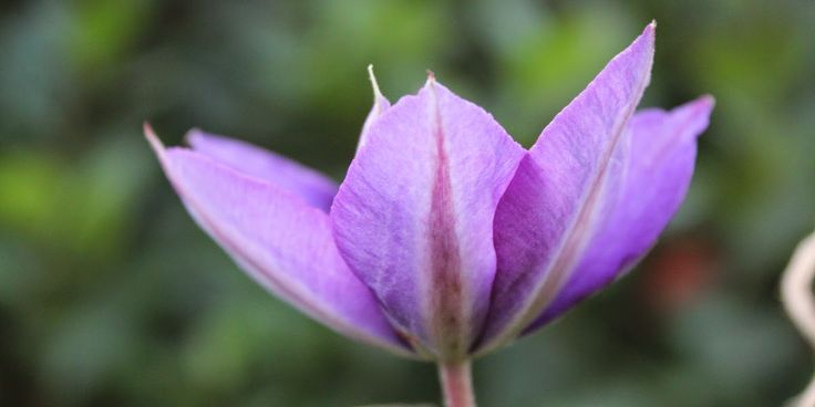 KLEMATIS - Clematis 'Hagley hybrid'