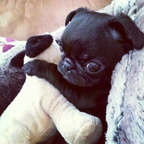 Black pug puppy snuggles a stuffed animal.