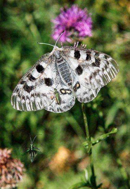 Apollofalter #butterfly