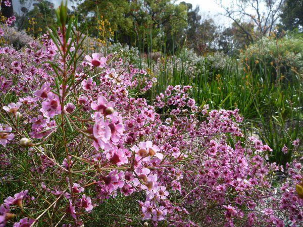 Chamelaucium uncinatum (Geraldton Wax) Australian shrub