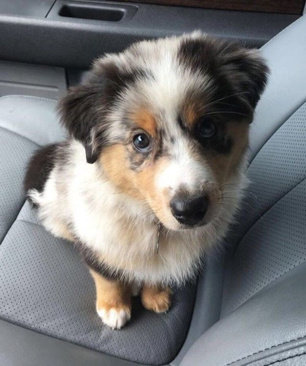 No souls?? | 17 Reasons Australian Shepherds Are The Worst Possible Breed Of Dog You Could Adopt