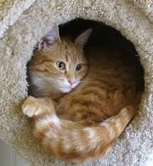 curled up cat - Google Search