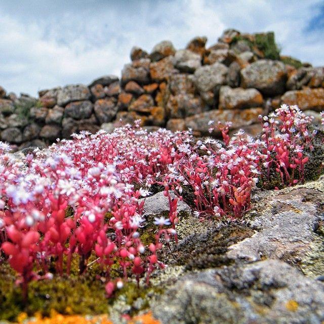 Lo chiamano il Gigante Rosso perché è il #Nuraghe più grande della #Sardegna ma anche per via dei licheni rosso-arancio che crescono sulle pietre.  È il Nuraghe Arrubiu. Visitarlo in primavera significa incontrare sul proprio cammino papaveri e altri fiori che donano al tutto un alone magico.  Si trova nel territorio del comune di Orroli (CA) ricco di tante altre testimonianze archeologiche. #sardinia #archeology