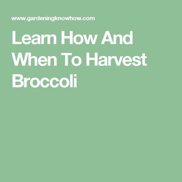 Learn How And When To Harvest Broccoli