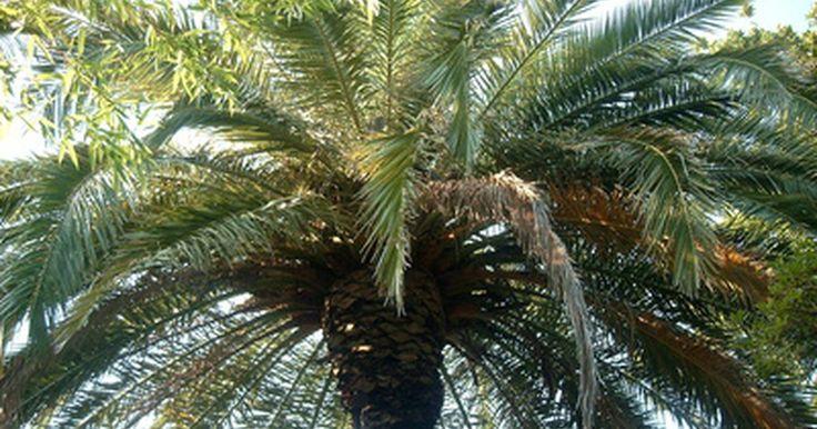 Tipos de palmeras tropicales. Todas las palmeras pertenecen a la familia palmaceae, que define a sus miembros como plantas con tallos sin ramas y hojas grandes. La familia palmaceae consta de aproximadamente 1.100 especies de árboles, en su mayoría las variedades de palmeras tropicales. Las palmeras están entre los árboles más reconocibles del mundo, teniendo hojas largas en ...