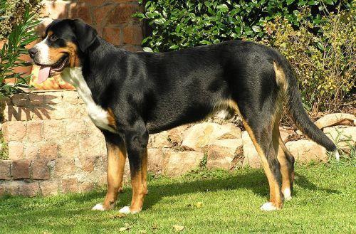 Duży szwajcarski pies pasterski. Psy tej rasy początkowo używane były jako psy zaganiające w gospodarstwach rolników lub psy pociągowe, stróżujące, obronne i towarzysze wędrówek. Dziś są to psy ratownicze i rodzinne. Występują w trzykolorowym umaszczeniu, mają czarny grzbiet, łapy podpalane, a pierś białą. Są to psy przyjacielskie, łagodne, spokojne w stosunku do dzieci. Sierść nie wymaga zbyt dużej pielęgnacji, ale za to psy potrzebują regularnych i bogatych w minerały posiłków.