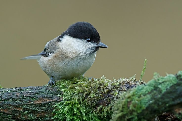 Willow tit () Explore Trev4 Photography's photos on Flickr. Trev4 Photography has uploaded 1116 photos to Flickr.