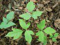 Home Remedy - Four Very Effective Treatments for Poison Ivy