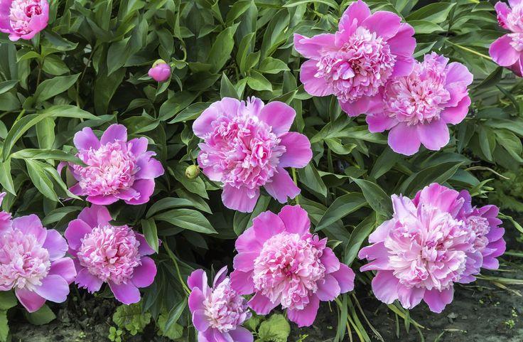 Цветущий куст розовых пионов. (Russia, Starodub)
