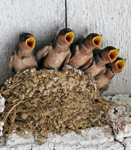 Nesting under the eaves, a swallow chorus.