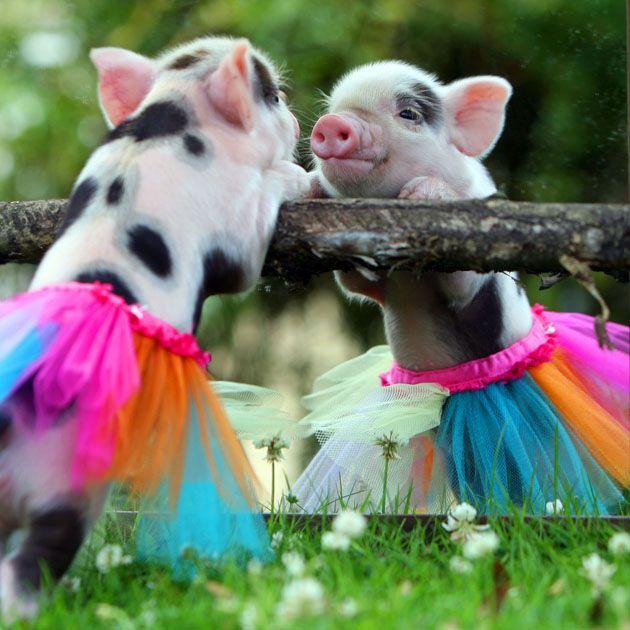 Pig in a tutu gazing at himself in a mirror.