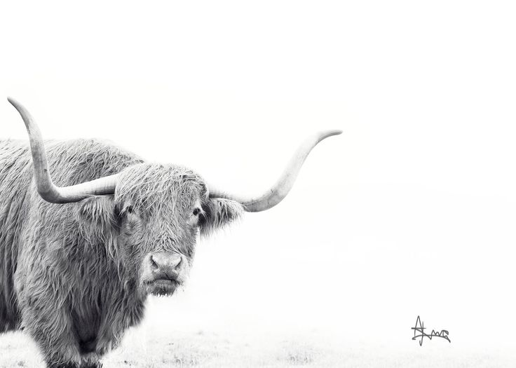 #HighlandCow #print Fine Art Print.