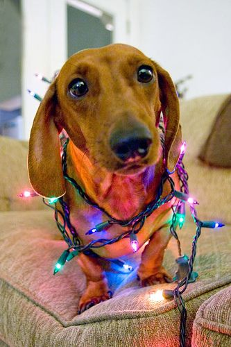 Dachshund tangled up in Christmas lights - LOL Would make a great