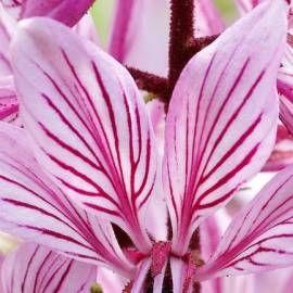 Dyptam jesionolistny Dictamnus albus