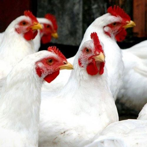Poultry Breeds | Mackey's Inc.- Willimantic, CT, Colchester, CT