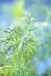 Nouvelles herbes aromatiques Darégal, aneth  Prise de vue pour les nouvelles herbes aromatiques #Darégal. Connaissez-vous la #bourrache, la #ciboulail, la #pimprenelle ? Découvrir ou confirmer votre savoir des #herbes #aromatiques, pour avoir des idées et goûter à toutes leurs #saveurs, www.daregal.fr.